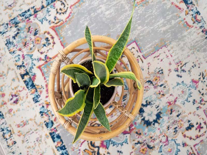 معرفی مقاوم ترین گیاهان آپارتمانی